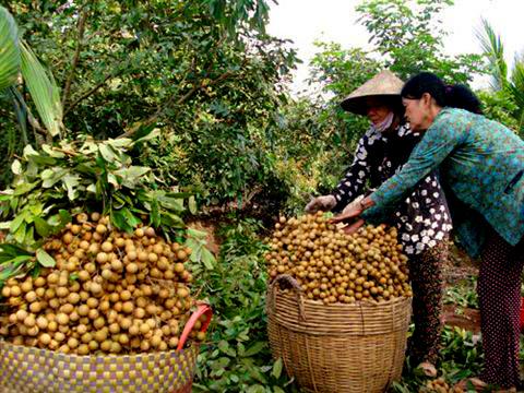 http://hungyentourism.com.vn/mua-nhan-ve-du-ai-buon-bac-ban-dong-do-ai-quen-duoc-nhan-long-hung-yen
